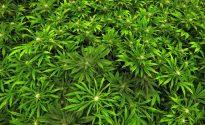 White House to crack down on marijuana