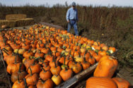 John Ackerman inspects harvested pumpkins on his farm Tuesday, Oct. 9, 2012 in Morton, Ill. Unlike other farmers this year, pumpkin growers have plenty to show during the nation's worst drought in decades, and the reason is pretty simple- pumpkins do well in dry weather. (AP Photo/Seth Perlman)
