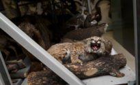 Rabid bobcat terrorizes Arizona tourist town
