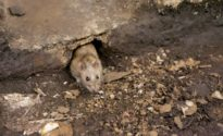 1 dead, 2 sick from disease transmitted by rats in NYC