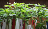 Scientific study reveals what is known, not known about marijuana