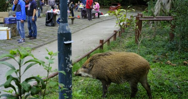 German nudist chases down boar after animal runs away with